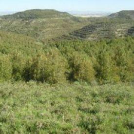 Plantación de Pinus halepensis.(Comunidad Foral de Navarra).